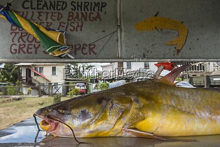catfish for sale georgetown guyana