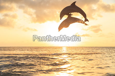 bottlenose dolphins tursiops truncatus caribbean sea