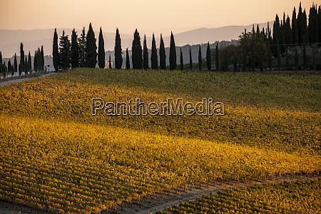 italy tuscany vineyard late light