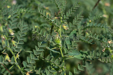 chickpeas pod with green young plants
