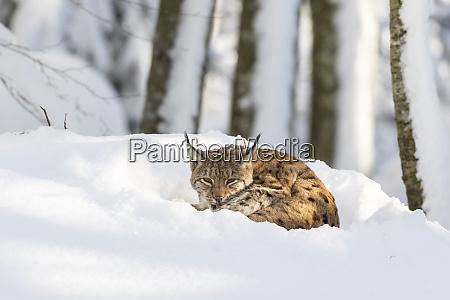 eurasian lynx lynx lynx during