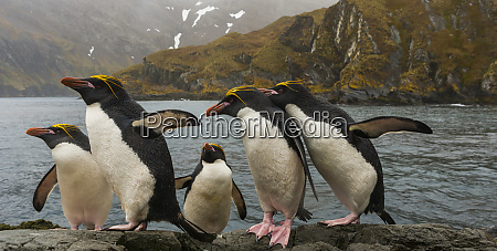 macaroni penguins south georgia island uk
