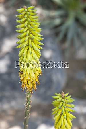 this aloe vera plant grows in