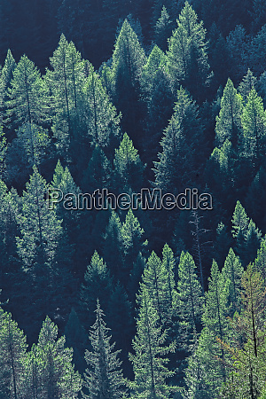 canada british columbia coniferous forest on