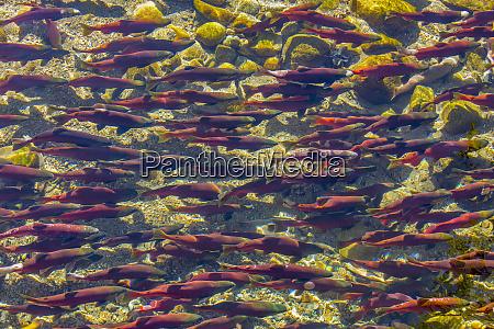 kokanee salmon head upstream in spawning