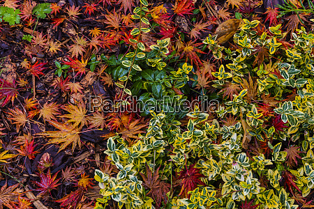 japanese maple leaves on ground in