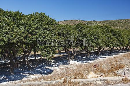 mastic trees chios island greece