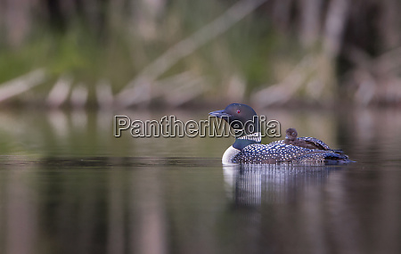 canada british columbia a common loon