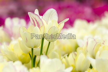cream colored tulips in garden keukenhof