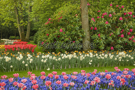 tulips grape hyacinth and rhododendron blossoms