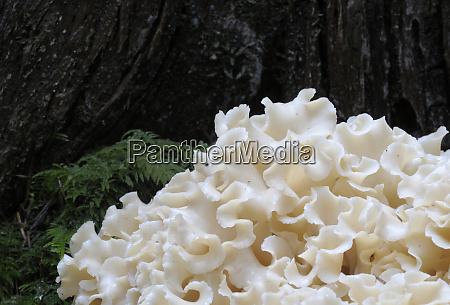 canada british columbia vancouver cauliflower mushroom