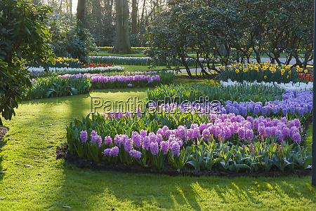 sunlit spring garden with hyacinth and
