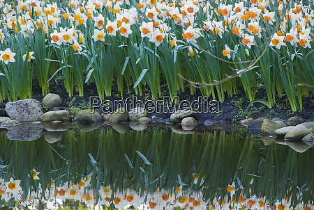 narcissus reflecting in pond