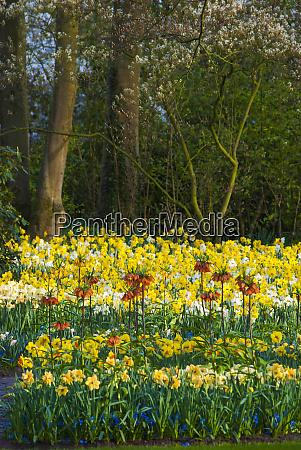 spring woodland garden with daffodils
