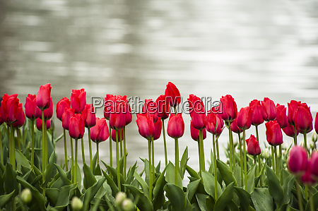 rows of red tulips are bright