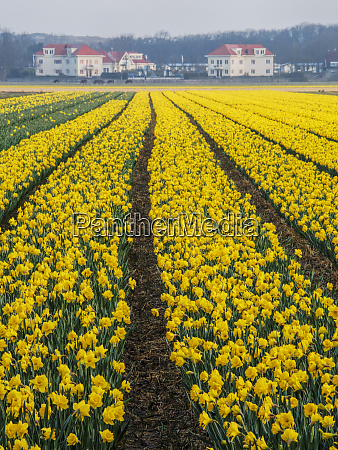 netherlands daffodils planted in long rows