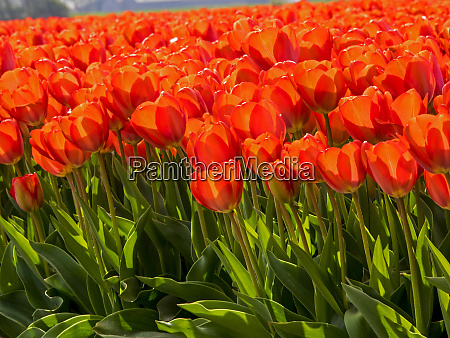 netherlands nord holland red tulips in