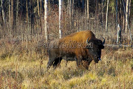 the wood bison bison bison athabascae