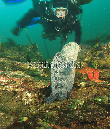 scuba divers and wolf eel anarrhichthys
