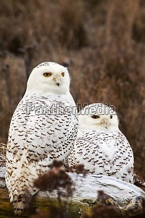 canada british columbia snowy owl waiting