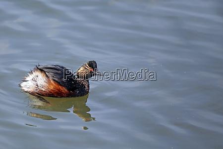 black necked diver podiceps nigricollis in