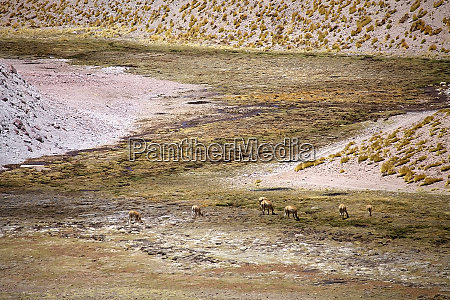 vicunas in the fumarole field in