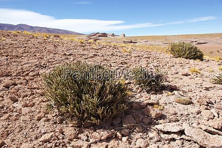 shrub in the puna de atacama