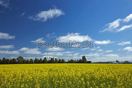 yellow flowers of rapeseed field near