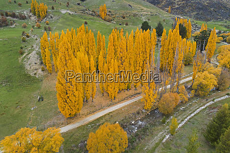 poplar trees in autumn and cardona