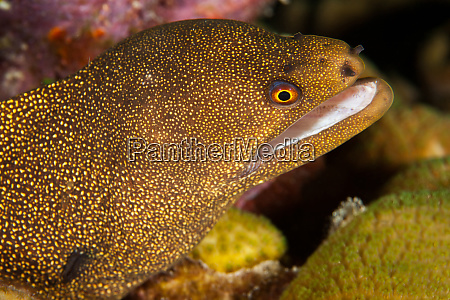 night dive photograph of goldentail eel