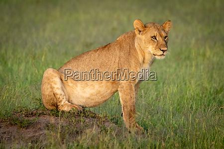 lion cub sitting on mound facing