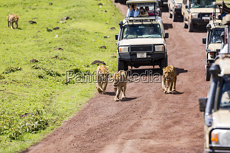 crowd of tourist vehicles follow a