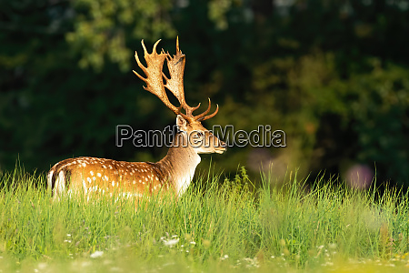 fallow deer stag standing on a