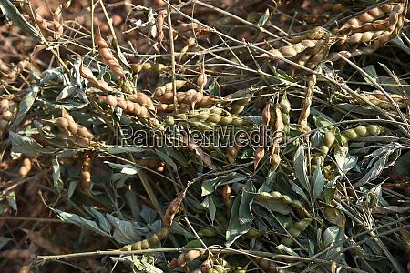 pigeon pea crop in farm field