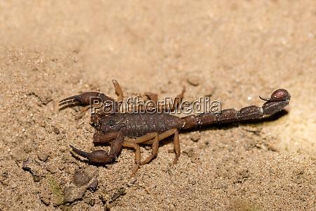 scorpions predatory arachnids madagascar
