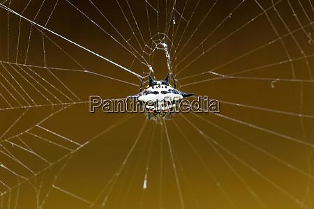 spiny orb weaver or crab spider
