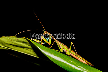 praying mantis africa madagascar wildlife
