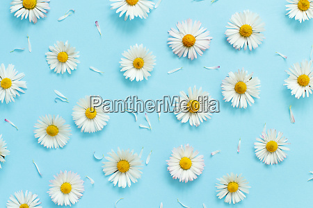 white daisies on a light blue