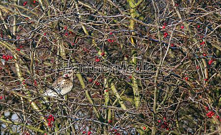 juniper thrush turdus pilaris in field