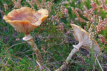 hallimasch armillaria spec between besenheide