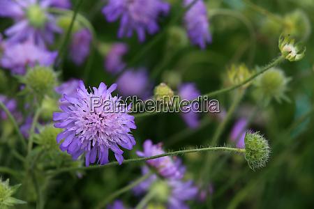 flowering field widow flower knautia arvensis