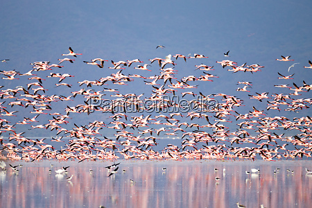 flock of pink flamingos from lake