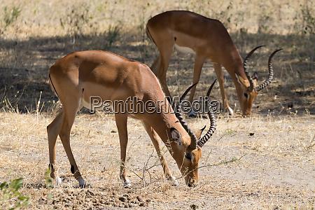 impala close up tarangire national park