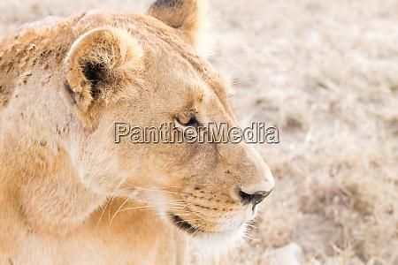 lioness close up serengeti national park
