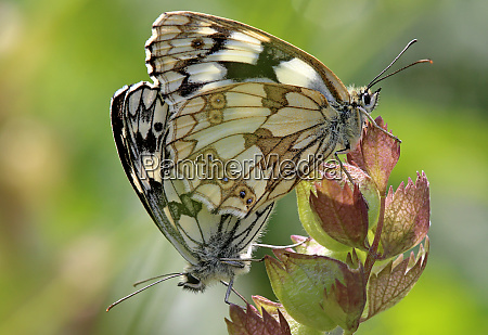 copulation at the chessboard butterfly melanargia