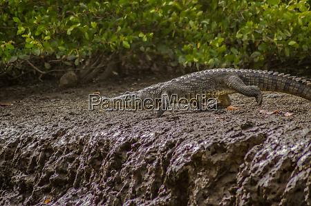 crocodile walking along the gambia river