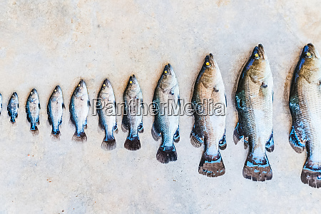 in row fish of different sizes