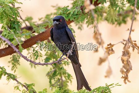 bird fork tailed drongo africa namibia