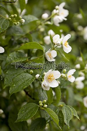 philadelphus coronarius english dogwood scrub