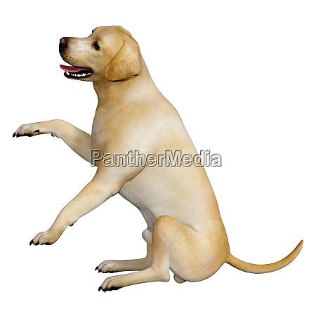 3d rendering labrador dog on white